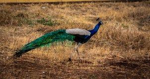 Påfågel som går i buske royaltyfri foto