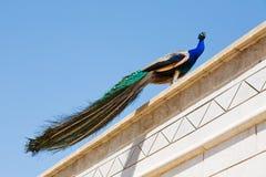 Påfågel som klättras på taket arkivbild