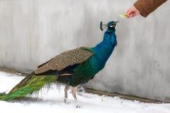 Påfågel som matas av människan i vinter Arkivbilder