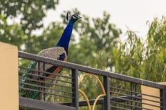 Påfågel som omkring strövar omkring arkivbilder