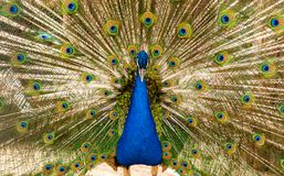 Påfågel som ser rak Arkivfoton