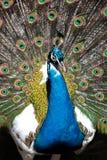 Påfågel som ska visas av Royaltyfri Fotografi