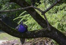 Påfågel som sover på en trädfilial Arkivbilder