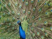 Påfågel som visar av Arkivbilder