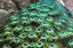 Påfågel som visar dess svans Arkivfoto