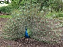 Påfågel som visar fjädrar Arkivfoto