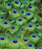Påfågel Tailfeathers Arkivbilder