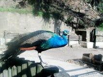 Påfågel verklig pavo Royaltyfri Bild
