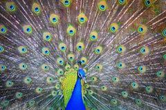 Påfågel verklig Pavo, reial paó Arkivfoton