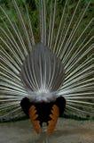 Påfågelbaksida Royaltyfri Foto