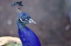 Påfågelcloseup med blåa fjädrar royaltyfri foto