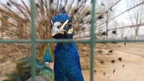Påfågelcloseup som ser kameran arkivfoton