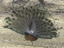 Påfågeldans som ses från baksida Royaltyfria Bilder