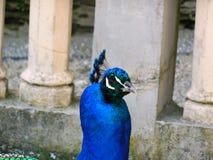 Påfågelelegans fotografering för bildbyråer