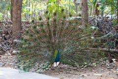 Påfågelfågel som fördelar dess härliga fjädrar royaltyfria foton