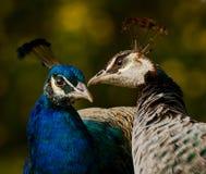 Påfågelförälskelseframställning Royaltyfri Bild