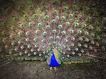 Påfågelfan Royaltyfria Bilder