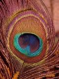 Påfågelfjäder Fotografering för Bildbyråer