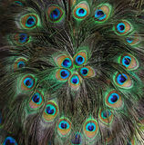 Påfågelfjäder Arkivfoto