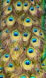 Påfågelfjäder Arkivfoton