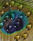 Påfågelfjäder och droppar Royaltyfria Bilder