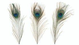 Påfågelfjäder som isoleras på en vit bakgrund Arkivbild