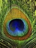 Påfågelfjädercloseup royaltyfri bild