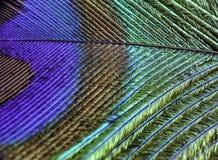 Påfågelfjädermakro Arkivfoto