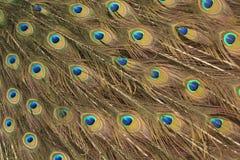 Påfågelfjädermodell Arkivfoto