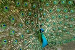 Påfågelfjädrar Arkivbild