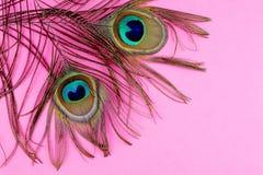 Påfågelfjädrar på pink Arkivfoton