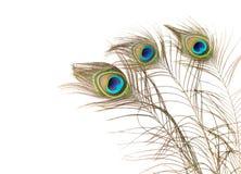 Påfågelfjädrar på vit bakgrund Arkivbilder