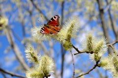 Påfågelfjäril - Aglais io Arkivbilder