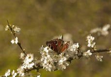 Påfågelfjäril på Hawthorne Blossom. Arkivfoton