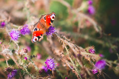 Påfågelfjäril på violetta blommor Royaltyfri Foto