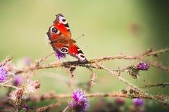Påfågelfjäril på violetta blommor Arkivfoton