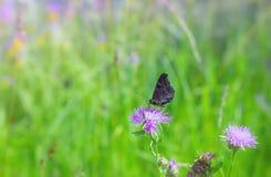 Påfågelfjäril som dricker Nectar On en sommaräng royaltyfria foton