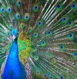 påfågelglans Arkivfoton