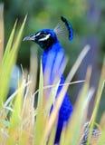 Påfågelgräs Royaltyfri Fotografi