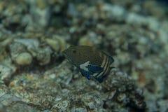 Påfågelhavsaborre - cephalopholisargus stående Arkivfoton