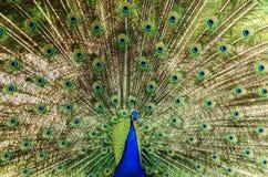 Påfågelhjul Fotografering för Bildbyråer