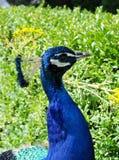 Påfågelhuvud, hals och del tillbaka Arkivbild