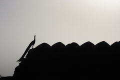 Påfågelkontur Royaltyfria Bilder
