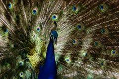 Påfågelmodeller