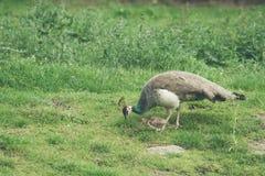 Påfågelmoder som skyddar hönorna arkivfoton