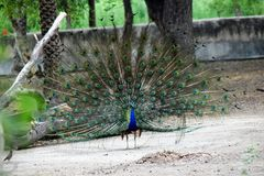 Påfågeln är tecknet av monsun royaltyfri bild