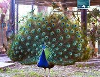 Påfågeln avfärdade en härlig stor svans med blått-gräsplan arkivbilder
