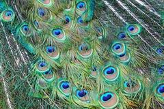 Påfågeln befjädrar bakgrund fotografering för bildbyråer