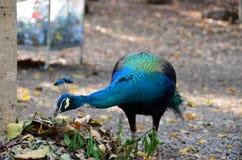 Påfågeln bor i den Klai Kangwon templet, Chai Nat Province, Thailand royaltyfria bilder