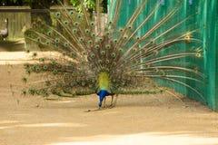 Påfågeln fördelade ut dess svans och gör ren fjädern royaltyfria bilder